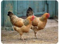 Buy chickens for fresh eggs.