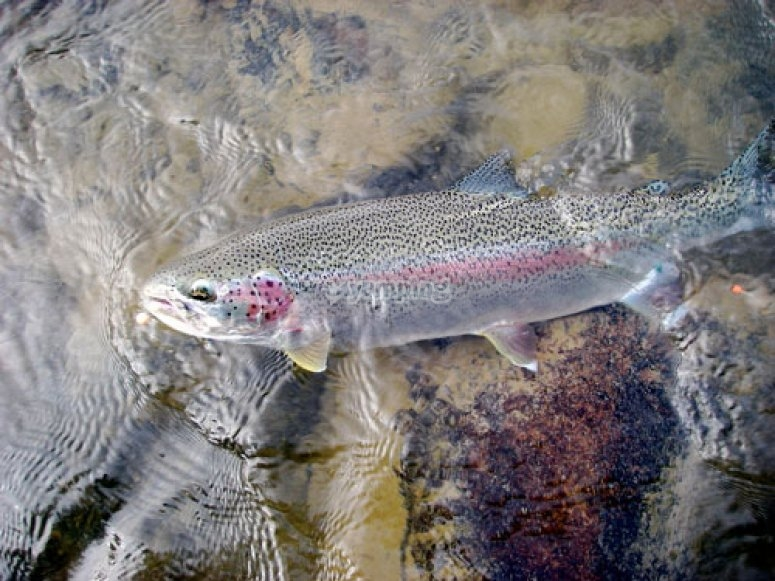 Rainbow trout in shallow waters