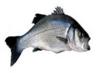 Some of the best Sea Bass fishing you will find