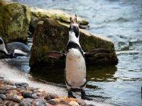 Amber the Humboldt penguin