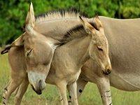 Somali wild foals