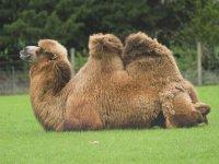 Wacker the camel