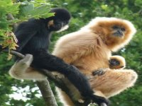 We have 5 species of gibbon