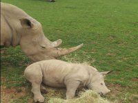 Our baby white rhino