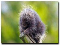 tree porcupine