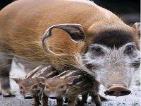 River river hogs