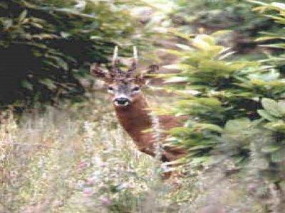 Roger Buss Deer Land
