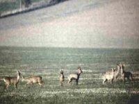 A family of Roe deer