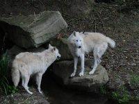 Hudson Bay white wolves
