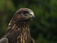 A Common Buzzard