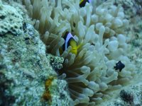 Red Sea - Clown Fish