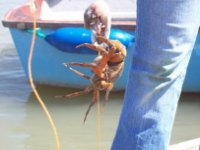 You can also go crabbing on our speedboat