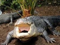 Mississippi Alligators