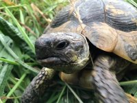 Sulcata Tortoise.