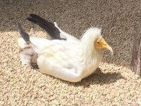 A beautiful Vulture