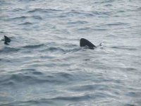 Diving with Basking sharks at St. Abbs