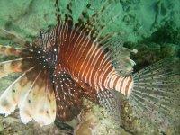 The majestic lion fish