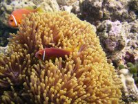 A clownfish pair at their anemone home