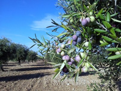 Guided tour of olive tree groves in Jaén