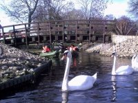 Paddling with the swans