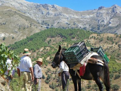 Discover the olive oil and wine in La Axarquía, 5h