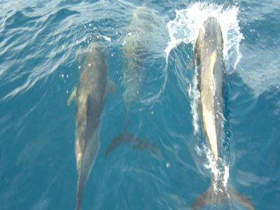 Tiare Yacht Avistamiento de Cetáceos