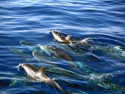 Dolphin watching in Fuerteventura