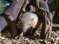 Armadillos in  Tropical World Leeds