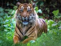 Our beautiful male Sumatran Tiger