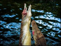 The crocodiles at  Thrigby Hall Wildlife Gardens