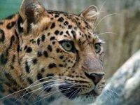 Meet the Leopards!