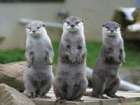 Three Otters - so cute!