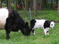 Brand new baby calf!