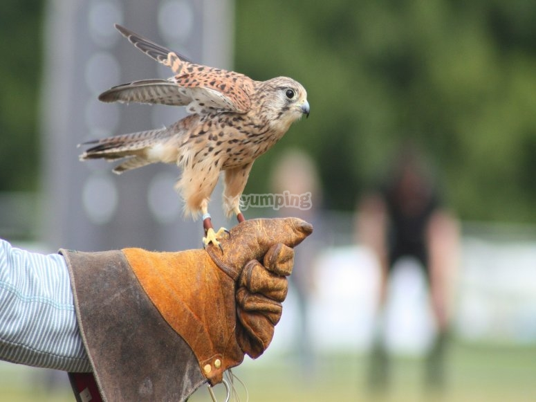 Handling the falcon
