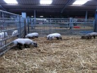 Baby farm animals.