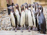 Some new penguins have joined the zoo.