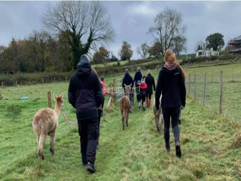 Fun times with the alpacas