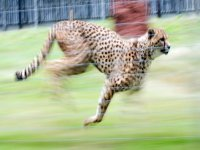 How fast can a cheetah run?