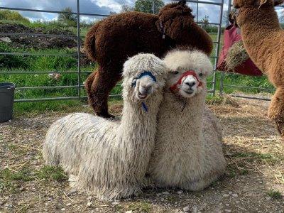 Brackenfield Alpacas