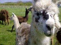 Llama Trekking Cornwall
