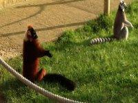 Sunning lemurs.