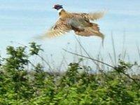 Pheasant and partridge days