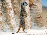 The meerkats are waiting