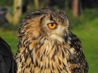 Hazel, the Barn Owl