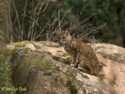 Iberian Lynx Land