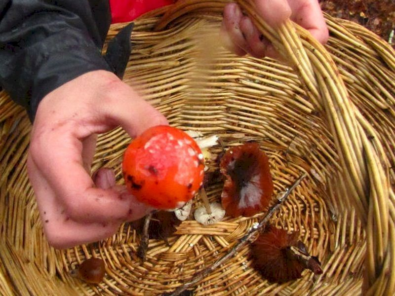 Distinguish between the edible mushrooms