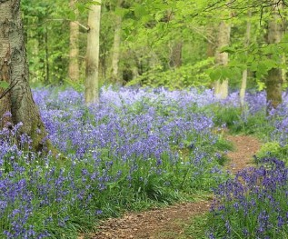 Cowleaze Wood and the bluebells