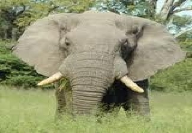 Ele the elephant